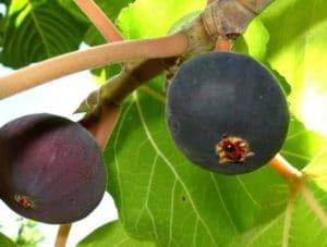bedu-fruit3